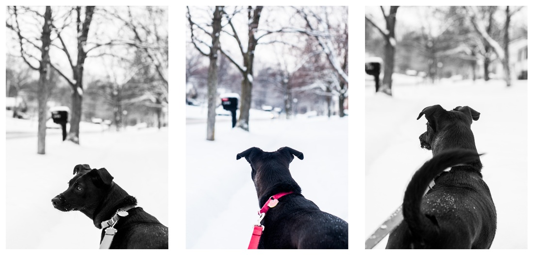 lab, neighborhood, street, snow, trees, dog walk, red leash