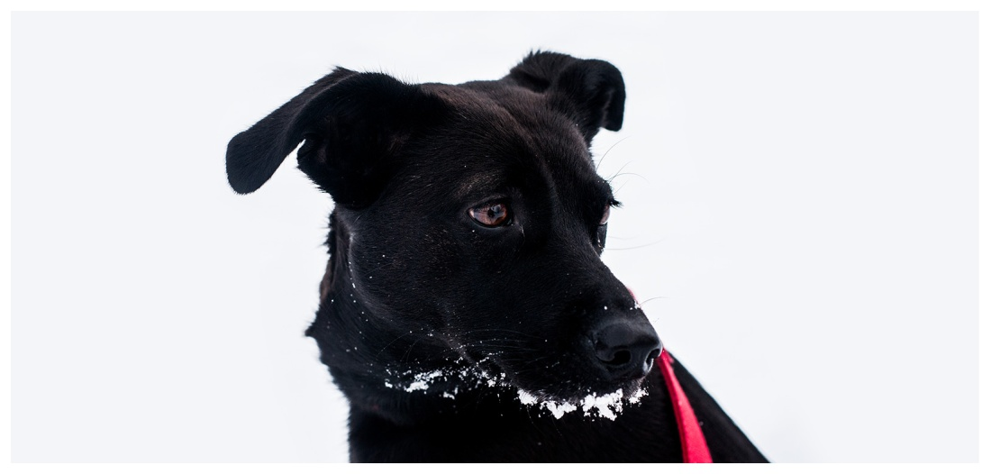 lab, snow, dog, red leash