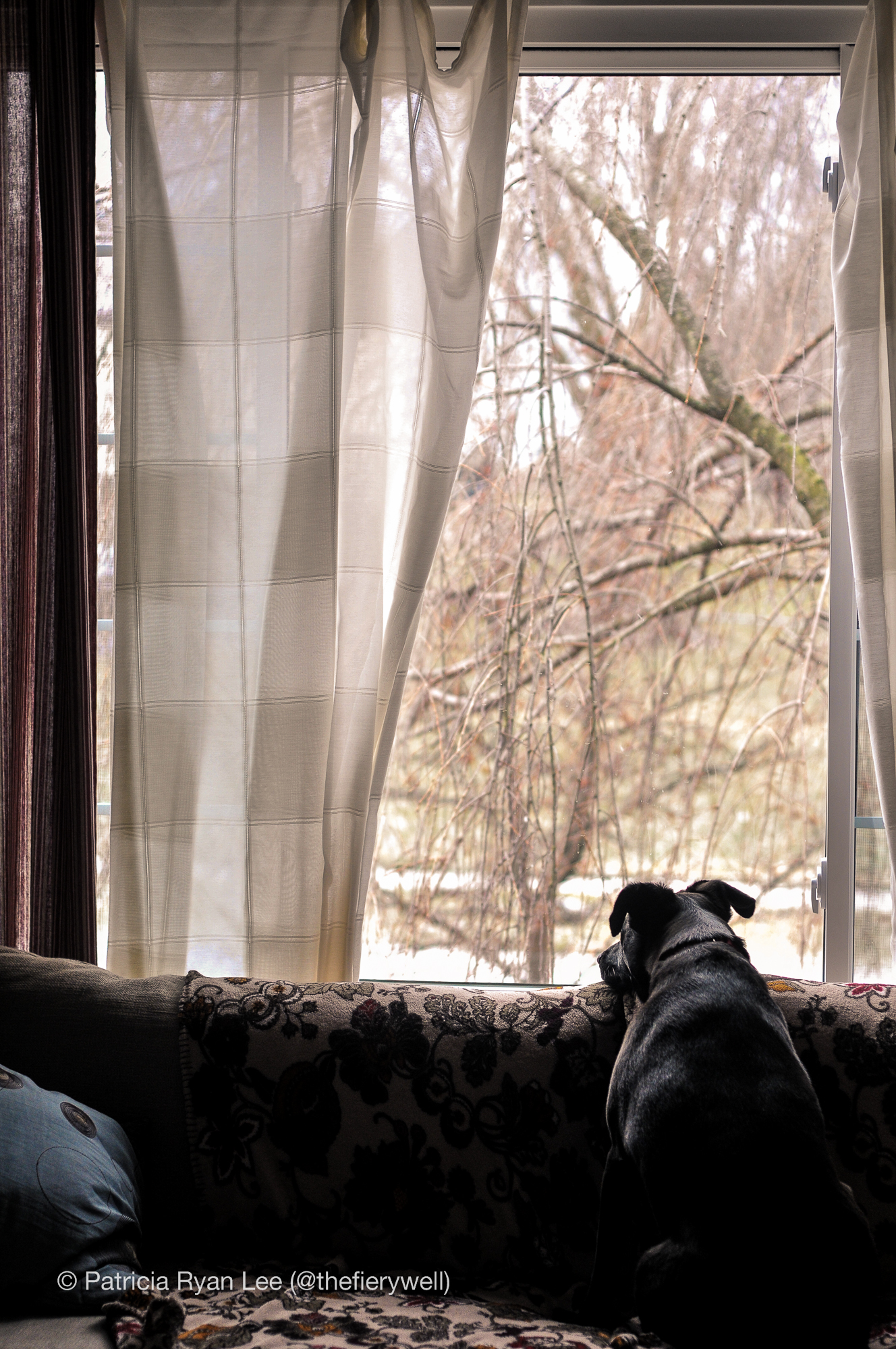 A black lab looks longingly out the window.